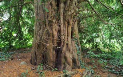 Ausrufung dritter Nationalerbe-Baum