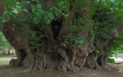Ausrufung erster Nationalerbe-Baum