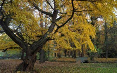 Ausrufung zweiter Nationalerbe-Baum