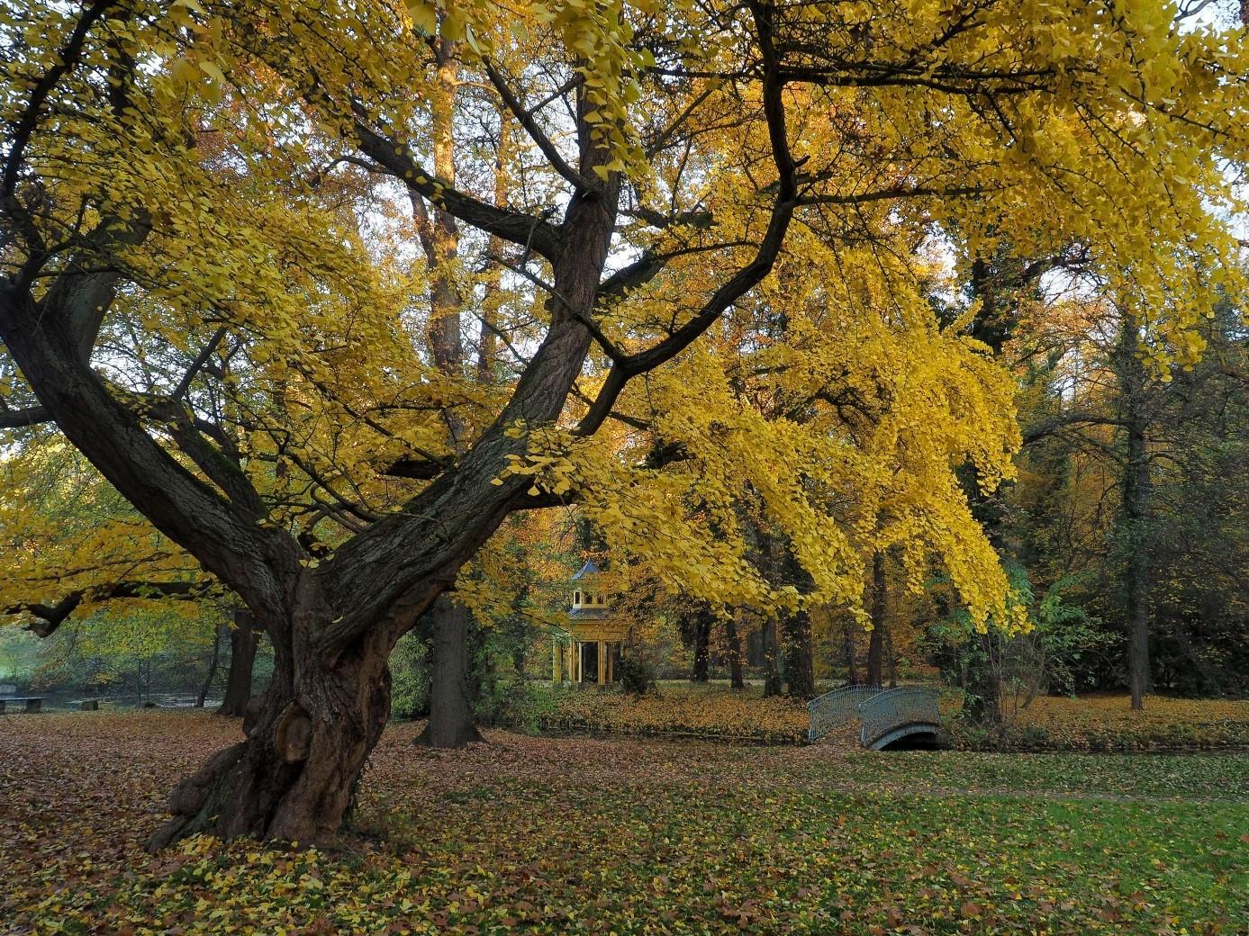 Ginkgo Jahnishausen: Herbstfärbung bis in den November