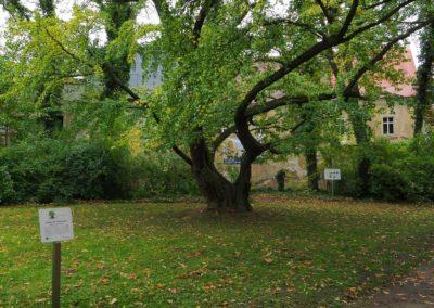 Ausrufung Ginkgo Jahnishausen: Baum an markantem Platz im Schlosspark