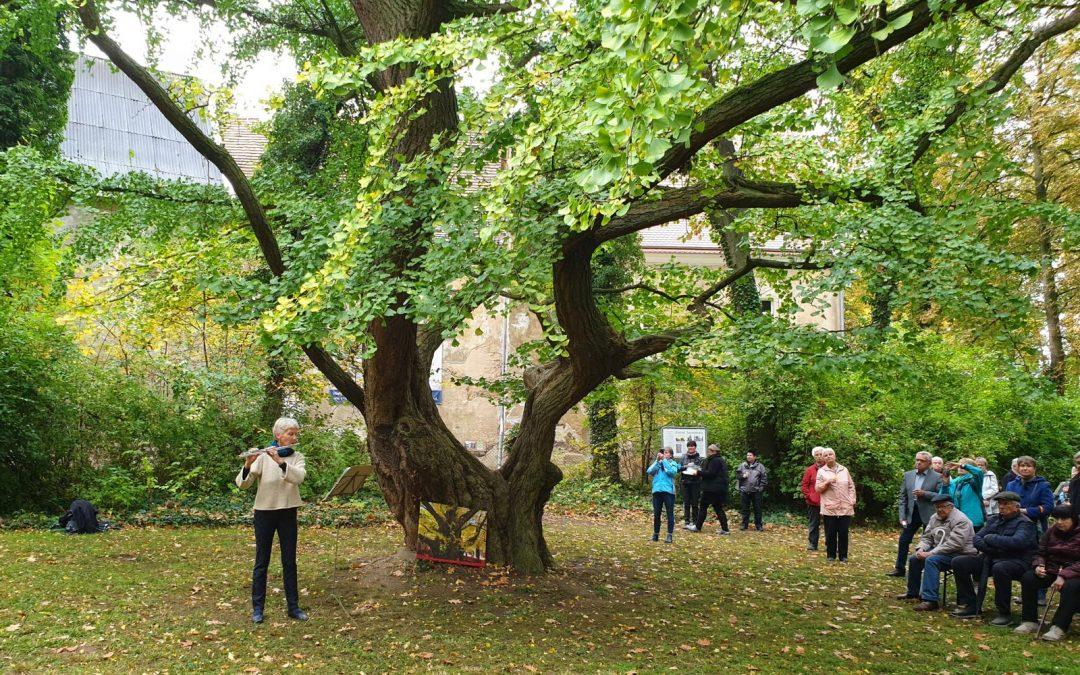 Ginkgo Jahnishausen zweiter Nationalerbe-Baum