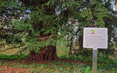 Flintbeker Eibe dritter Nationalerbe-Baum