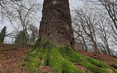 Vierter Nationalerbe-Baum steht fest