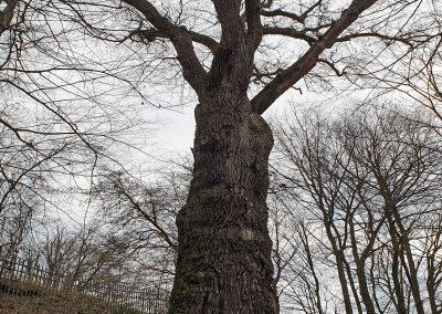 """Eiche Nagel: Walzenförmiger Stamm mit """"aufgesetzter"""" Krone"""