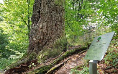 Eiche Nagel als vierter Nationalerbe-Baum ausgerufen