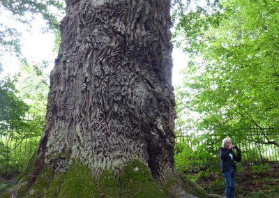 Ausrufung Eiche Nagel: Gewaltige Baum-Ausmaße - Foto F-HAUN