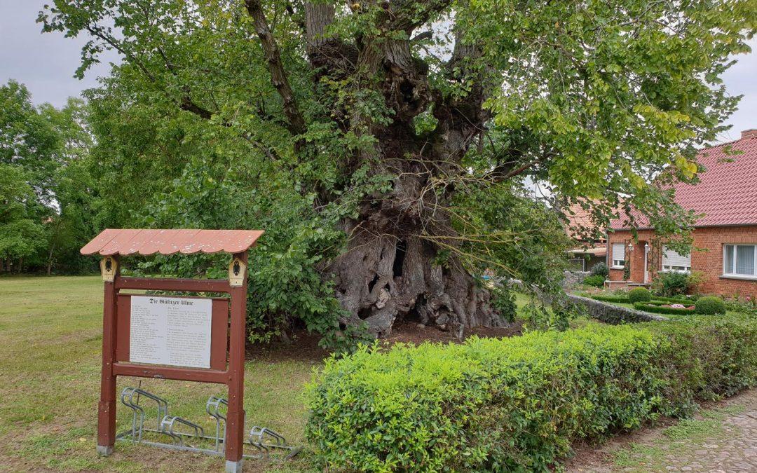 """""""Alte Ulme Gülitz"""" wird siebter Nationalerbe-Baum"""