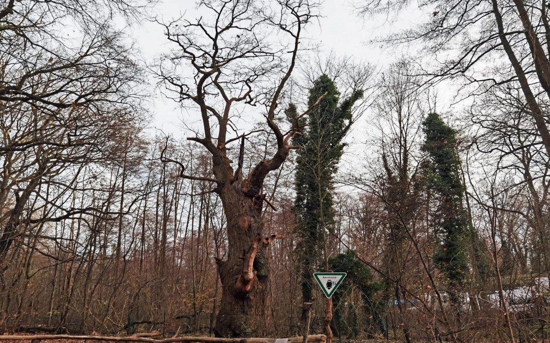 """Berliner Stiel-Eiche """"Dicke Marie"""" wird neunter Nationalerbe-Baum"""