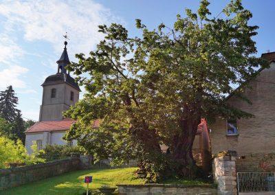 Ausrufung Winter-Linde Großpörthen: Ensemble Baum und Kirche unmittelbar vor der offiziellen Ernennung