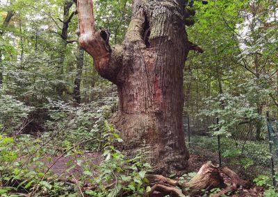 Ausrufung Dicke Marie: Eine beeindruckende Baumskulptur