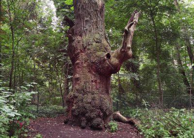 Ausrufung Dicke Marie: …mit über 100 Jahre altem Totast, der dem Baum enorm Charakter verleiht