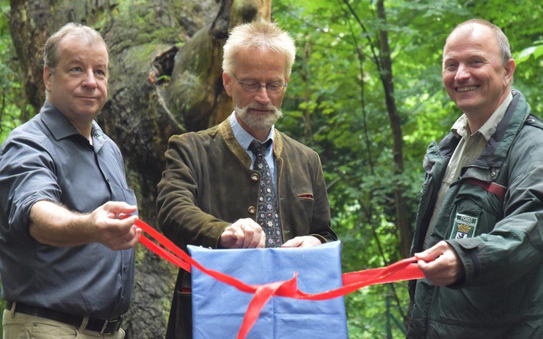 Stiel-Eiche Dicke Marie in Berlin-Tegel als Nationalerbe-Baum ausgerufen