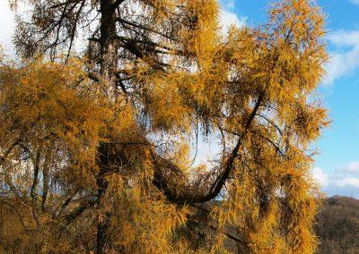 Lärche Kassel: Brillante Herbstfärbung bis in den November