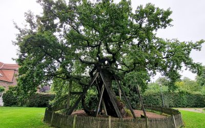 Erler Femeiche in Raesfeld (NRW) wird zwölfter Nationalerbe-Baum