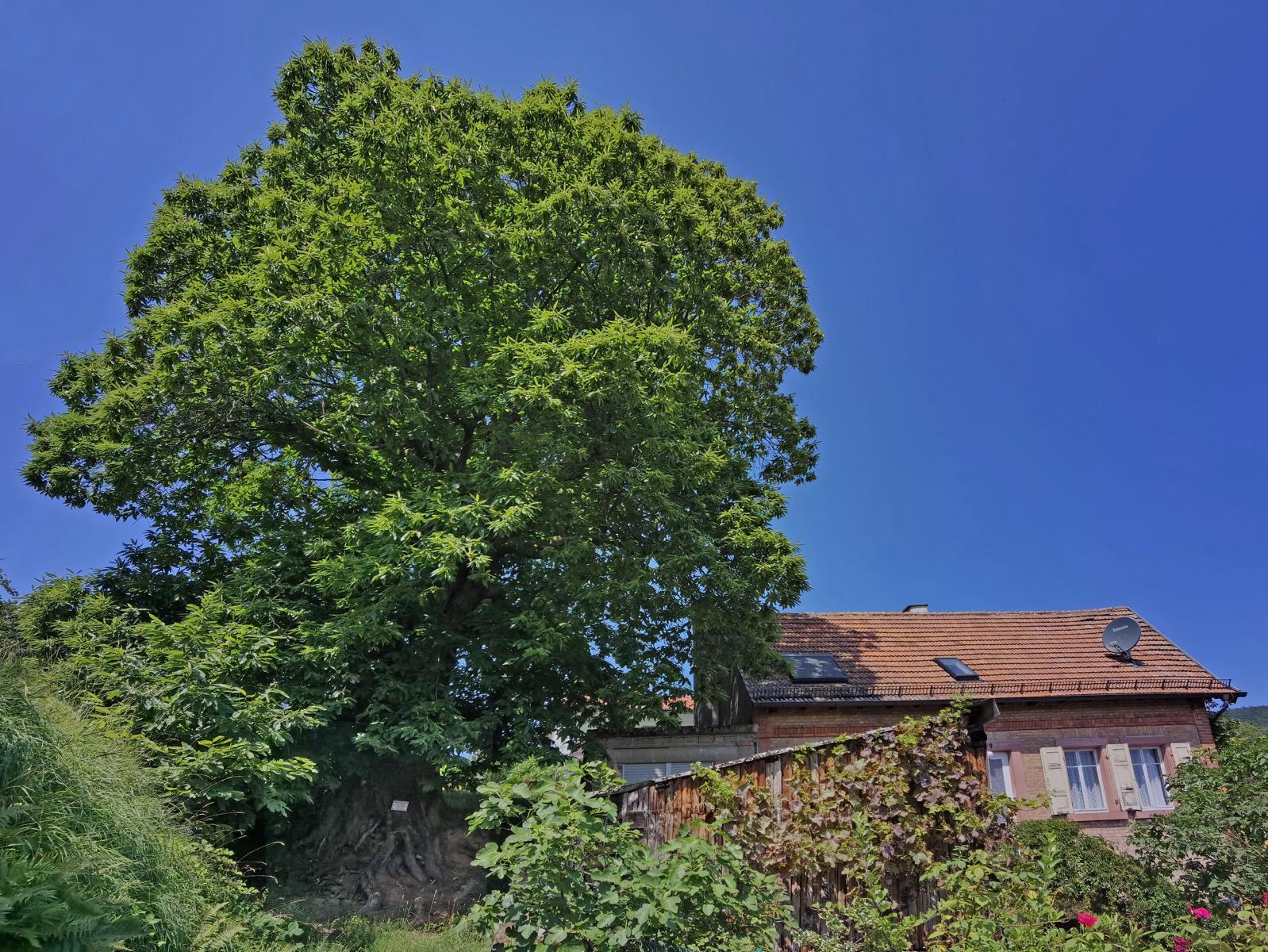 Kastanie Gleisweiler: Riesige Krone und gewaltiger Stamm(fuß) am Hohlweg