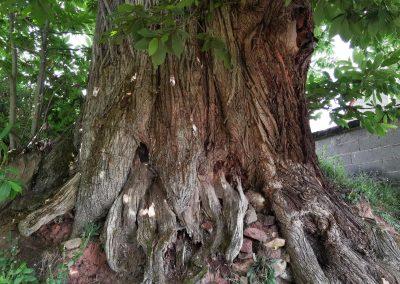 Kastanie Gleisweiler: Der Stammfuß zeigt die Jahrhunderte lange Geschichte des Baumes