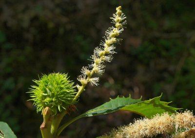 Kastanie Gleisweiler: Makro vom Blütenstand mit Fruchtansatz an der Basis und am oberen Ende den vielen männlichen Blüten