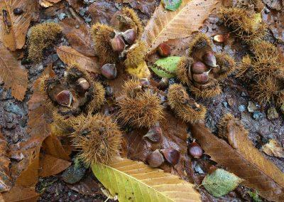 Kastanie Gleisweiler: Frisch herabgefallene Maronis am Boden im Oktober, mit aufgeplatzten stachligen Fruchtbechern