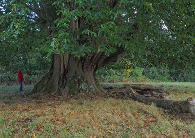 Kastanie Gleisweiler: Riesige Ess-Kastanie mit 17 m Stammumfang in England
